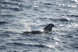 Pilot whale in Tenerife